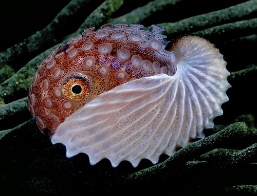 The Argonauts are a group of pelagic octopuses. They are also called paper nautiluses, referring to the paper-thin eggcase that females secrete. This structure lacks the gas-filled chambers present in chambered nautilus shells and is not a true cephalopod shell, but rather an evolutionary innovation unique to the genus Argonauta. It is used as a brood chamber and for trapped surface air to maintain buoyancy.