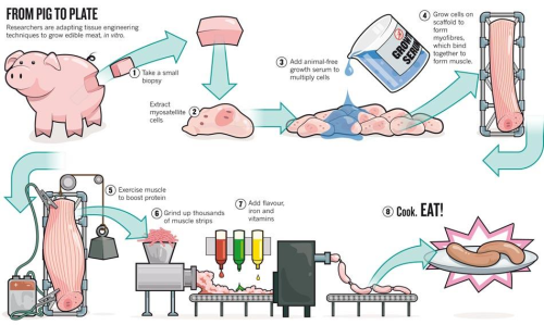 lynneravenne:  How scientist can bioengineer edible meat in vitro: