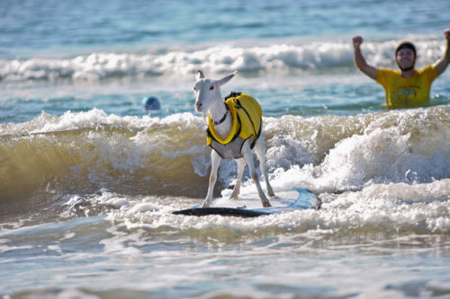"ebee-:  crumpeteatingwoofter:  apsies:  Meet the surfing goat that has become an internet hit since she began carving up the waves. Two-year-old Goatee can ride the waves with her fellow human surfers on Pismo Beach, California. Goatee's owner, Dana MacGregor, trained her to stand on a surf board. (via Pictures of the day: 31 January 2012 - Telegraph)  Totally just read that as ""Two-year-old Goatse…"" I blame Van.    #LOOK JENN LOOK! #goats are for Jennifer #most of my drafts are for Jennifer #and Erin #and Jules #and Jo #and Kevin #I swear I have more Tumblr frenz #it's just that my dashboard really does cater for their needs #goats are also for Van #obviously #jennhoney F*cking Lottie. I swear.  hahaha omg I love you guys"
