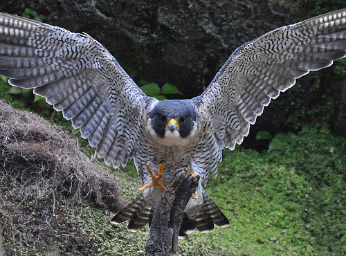 fairy-wren:  peregrine falcon photo by sdwildgene