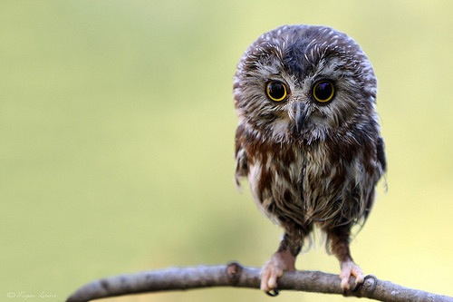 This is the most adorable owl I have ever seen :)