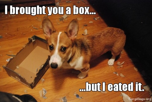 corgiaddict:  corgiporn:  He could commit murder and you would still forgive his cute face!  Fact: corgis LOOOOOOOOOOOOOVE paper!
