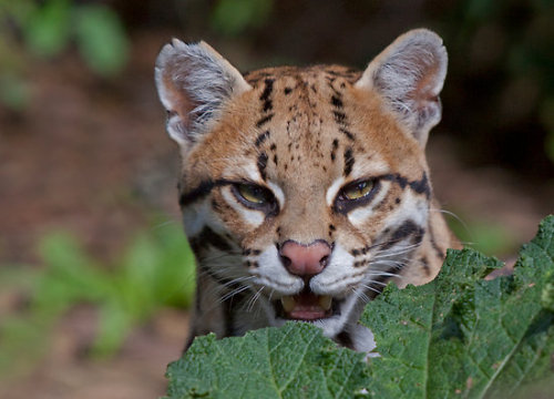 "eyes-of-the-wild:  ""Shy Ocelot"" by Krys Bailey"