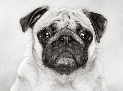 I love Pugs! by piotr m on Flickr.