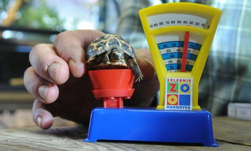 A zookeeper places a spider tortoise on a toy balance on Jan. 10 to illustrate its size during the annual inventory count at Germany's Hanover Zoo. Endemic to Madagascar, the spider tortoise is a critically endangered species. The tortoises are especially sensitive to captivity and must only be kept by experienced keepers.The best animal photos of January