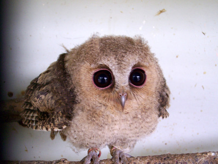 Did you know: The smallest owl in the world can weigh as little as 31g and be as tiny as 5.3 inches high? It is called the Elf Owl.