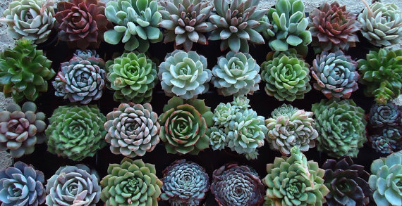 etsy:  (via 50 Succulents Plant Rosettes Assortment by SucculentDESIGNS)