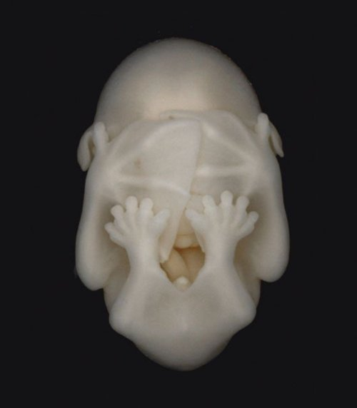 bat embryo. :3