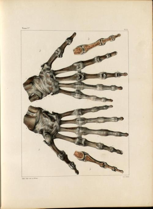 medical-illustration:  Wrist joint, bones and ligaments of the wrist and hand.Nicolas Henri Jacob