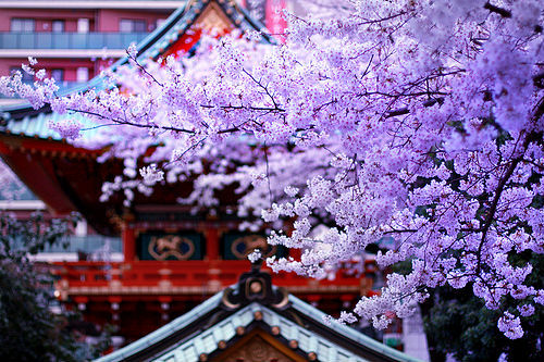 moonlightcity:  SAKURA x shrine (by drkigawa)