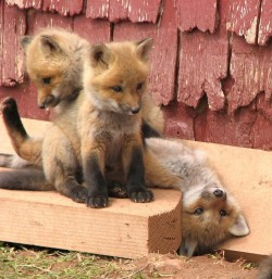 magicalnaturetour:  Fox kits playing by Dianeaub :)