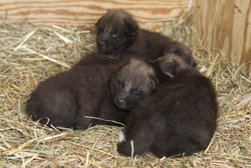 washingtonpoststyle:  Maned wolf pups at three weeks old. Read more on the rare breed. Photo by Lisa Ware (Smithsonian Conservation Biology Institute)