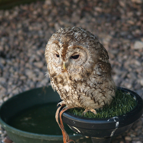 Owl by nicebiscuit on Flickr.