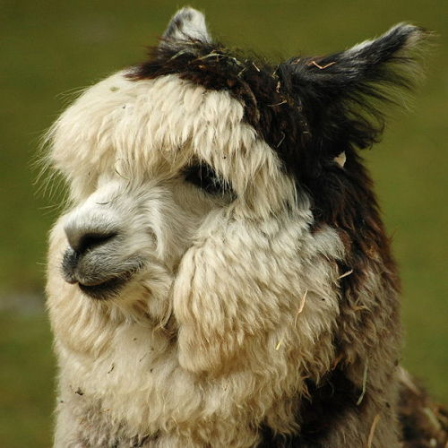 more lovely alpaca pron!