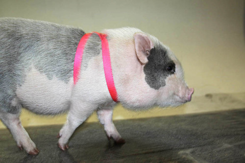 This is Bubbles, a member of this year's Puppy Bowl's Piglet Pep Squad. HI BUBBLES! Buzzfeed got to visit the studio in Manhattan where Puppy Bowl was filmed and hang out with the puppies, kittens, and piglets participating in Puppy Bowl VIII. I have several thoughts about this. First, why wasn't Vegansaurus invited? Megan Rascal single-handedly runs our NYC HQ and that girl loves pigs. Yes, the likelihood of her putting a piglet in her purse and making a run for it would've been high, but can you blame her [Ed. note: I would do it. -Megan]? Look at those FACES. Second, these piglets come from Ross Mill Farm, and that is unfortunate. Puppy Bowl puppies are all shelter dogs. Puppy Bowl kittens are all shelter kittens. Why not borrow piglets from a farm sanctuary? Or, you know, not include animals people can't adopt? I am not complaining about pictures of adorable piglets! But I don't like to put up photos of zoo animals, however devastatingly cute, because zoos are (mostly!) animal prisons, and I don't like Animal Planet's encouragement, however implicit, to buy piglets. You guys, my enthusiasm for Puppy Bowl is dampened. This is depressing! Yes, Ross Mill Farm appears to keep excellent facilities; they seem to have a process in place to screen potential pig-owners, including a fostering program and an adoption program, which is awesome! But they also breed pigs for pets, while encouraging adoption. I'm torn. One thumb up? Man I hate having a conscience. [all photos by Amy Sly for Buzzfeed]
