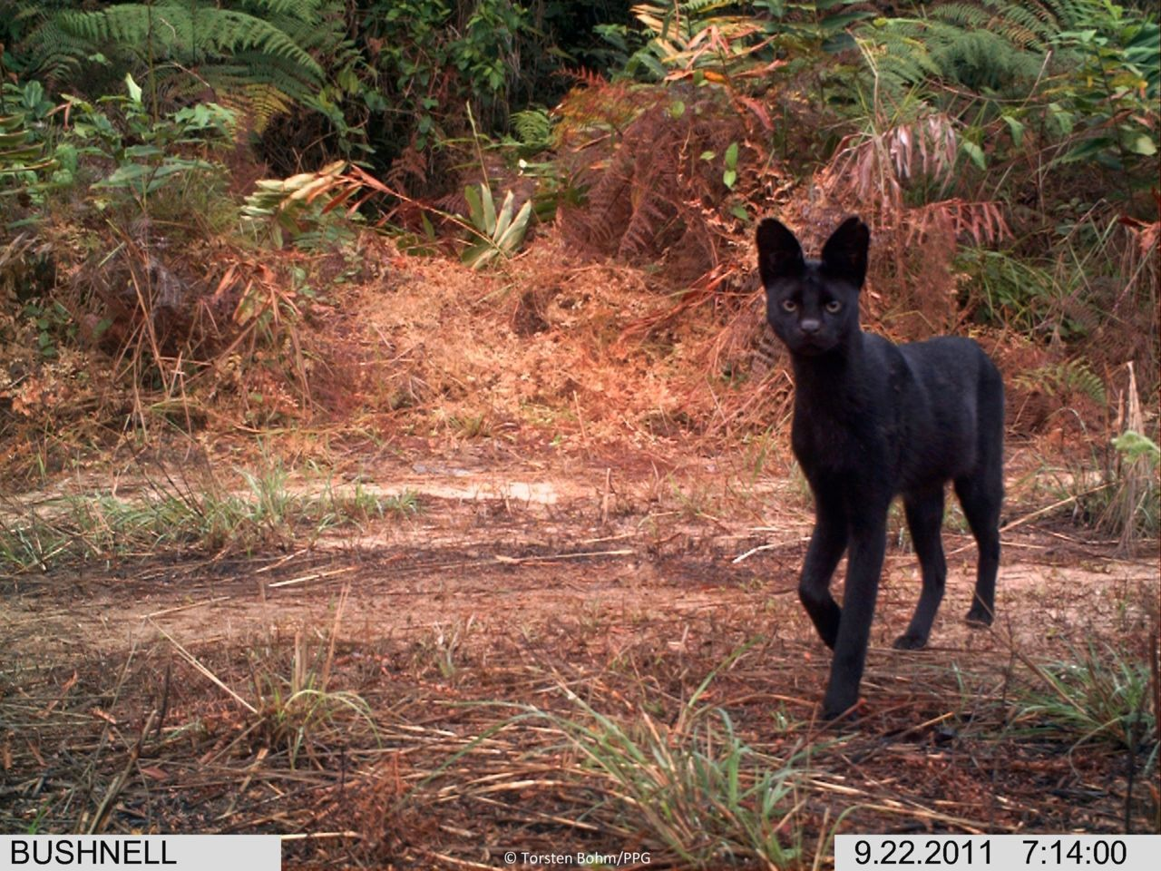 love-lounging:   Melanistic servals  BEAUTIFUL.