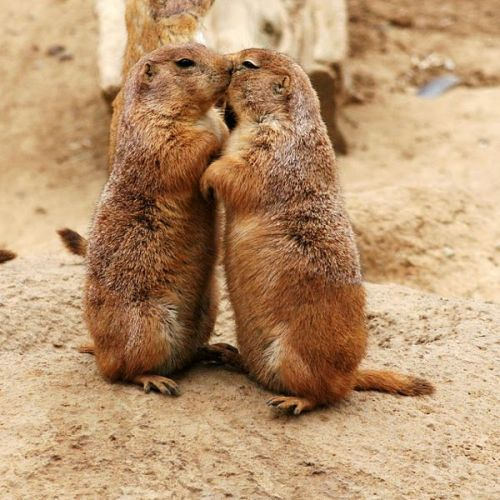 Kissing animals are completely and utterly adorable. ChaCha's Gallery of Cute Kissing Animals