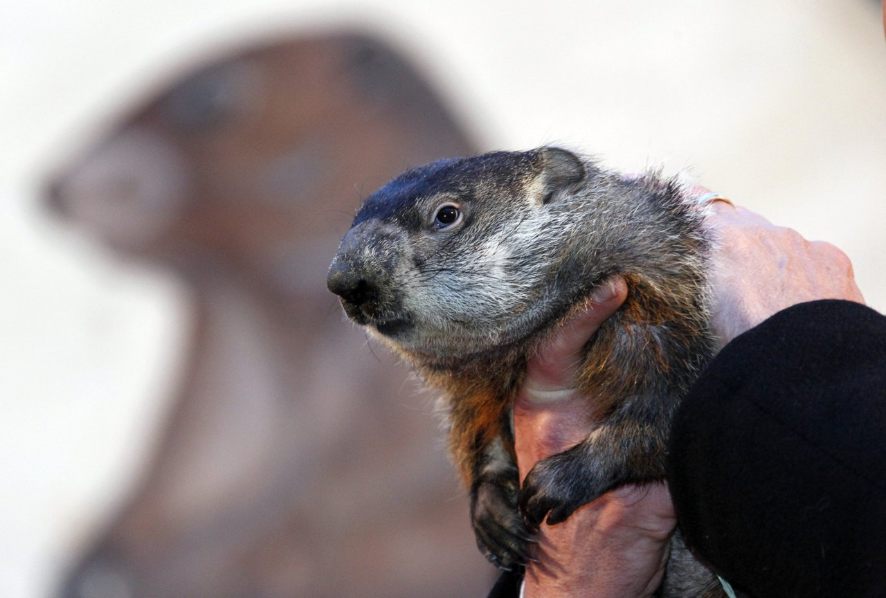 Famed weather prognosticating groundhog Punxsutawney Phil prepares to make his annual weather prediction on Gobbler's Knob in Punxsutawney, Pennsylvania, on the 126th Groundhog Day, February 2, 2012. Phil saw his shadow, signaling six more weeks of winter. [REUTERS/Jason Cohn]