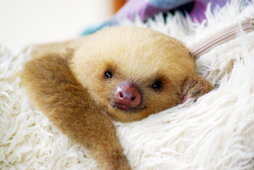 Did you know: That sloth's move so slowly that algae actually grows on their fur? Good thing too because the algae acts as camouflage against predators in the wild!