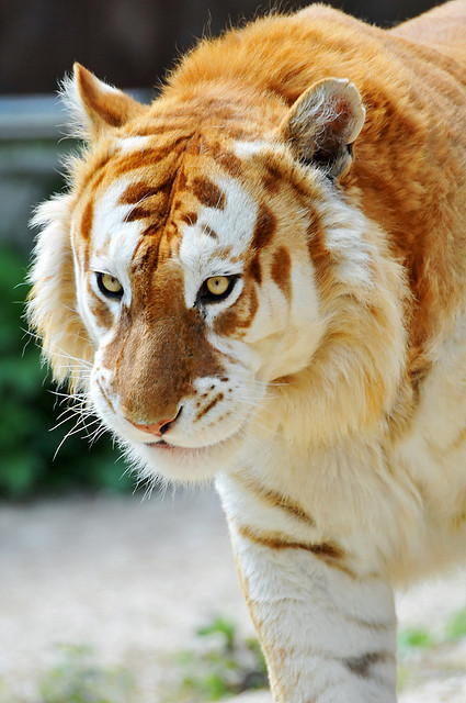 kingdom-of-animals:  Walking golden tiger by Tambako the Jaguar on Flickr.  A Golden Tabby Tiger is one with an extremely rare color variation caused by a recessive gene and is currently only found in captive tigers. Like the white tiger, it is a colour form and not a separate species. There are currently believed to be fewer than 30 of these rare tigers in the world, but many more carriers of the gene.