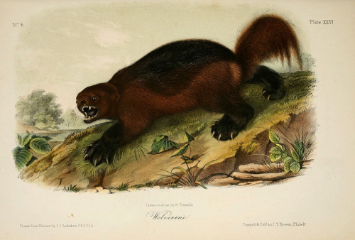 n264_w1150 by BioDivLibrary on Flickr. Wolverine From: The quadrupeds of North America. v.1. New York,V.G. Audubon,1851-54. biodiversitylibrary.org/item/108513