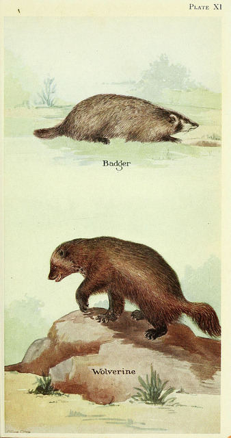 n186_w1150 by BioDivLibrary on Flickr. Badger and Wolverine From: Field book of North American mammals New York,G. P. Putnam's Sons,1928.biodiversitylibrary.org/item/38166
