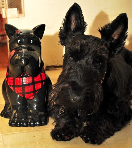 Twins! (My SIL gave us this Scotty dog cookie jar and we just had to do a side-by-side photo)