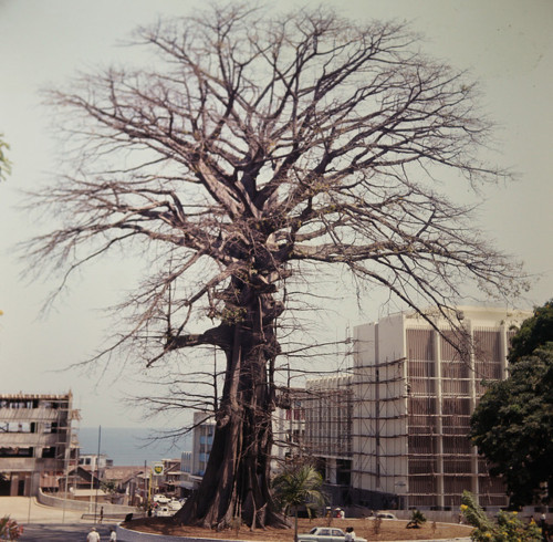 """The Cotton Tree is an historic symbol of Freetown, the capital city of Sierra Leone. According to legend, the ""Cotton Tree"" gained importance in 1792 when a group of former African American slaves, who had gained their freedom by fighting for the British during the American War of Independence, settled the site of modern Freetown. These Black Loyalist settlers, called ""Nova Scotians"" or ""Navitians"" in Sierra Leone, founded Freetown on March 11th 1792. According to tradition, they landed on the shoreline and walked up to a giant tree just above the bay and held a thanksgiving service there, gathering around the tree in a large group and praying and singing hymns to thank God for their deliverance to a free land. Its exact age is unknown, but it is known to have existed in 1787."""