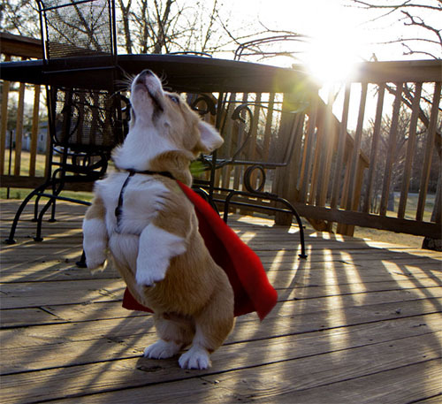 otisthefrogdog:  My little caped avenger.