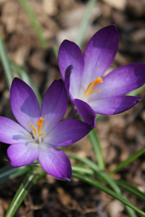 Crocus- Cheerfulness, gladness, 'abuse not,' youthful gladness, and attachment.