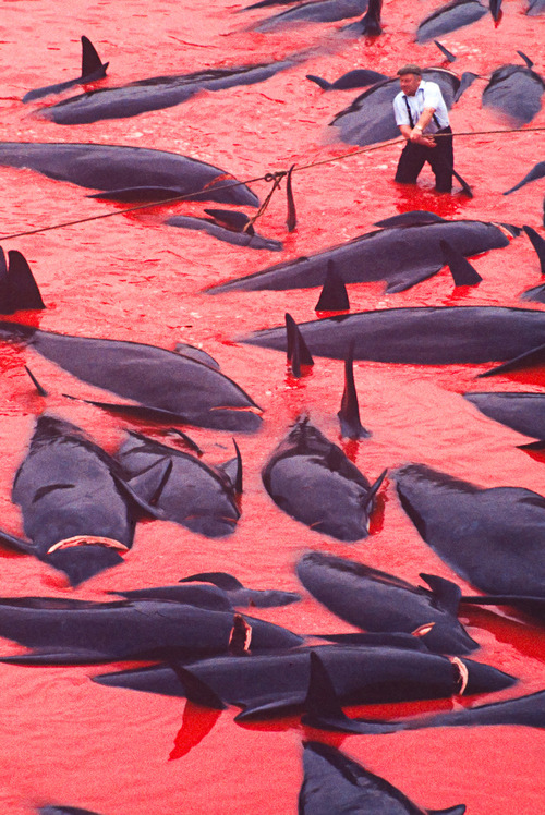 "earth-song:  Whaling in the Faroe Islands has been practiced since about the time of the first Norse settlements on the islands and it is regulated by Faroese authorities. The hunts, called ""grindadráp"" in Faroese, are non-commercial and are organized on a community level; anyone can participate. The hunters first surround the pilot whales with a wide semicircle of boats. The boats then drive the pilot whales slowly into a bay or to the bottom of a fjord. Most Faroese consider the hunt an important part of their culture and history.   by Tony Rath"