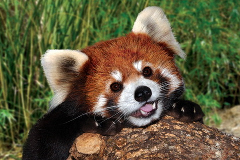 corgisandboobs:  Red Pandas: Nature's Corgi  RED PANDA IMMEDIATE REBLOG