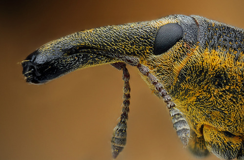Yellow Weevil (Lixus iridis) (by Kvejlend on Flickr)