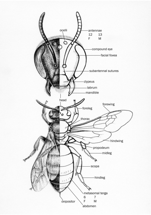 scientificillustration:  Native Bee Morphology   Thanks for the submission!