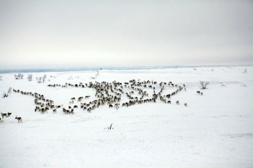 Herders count reindeer from a distance