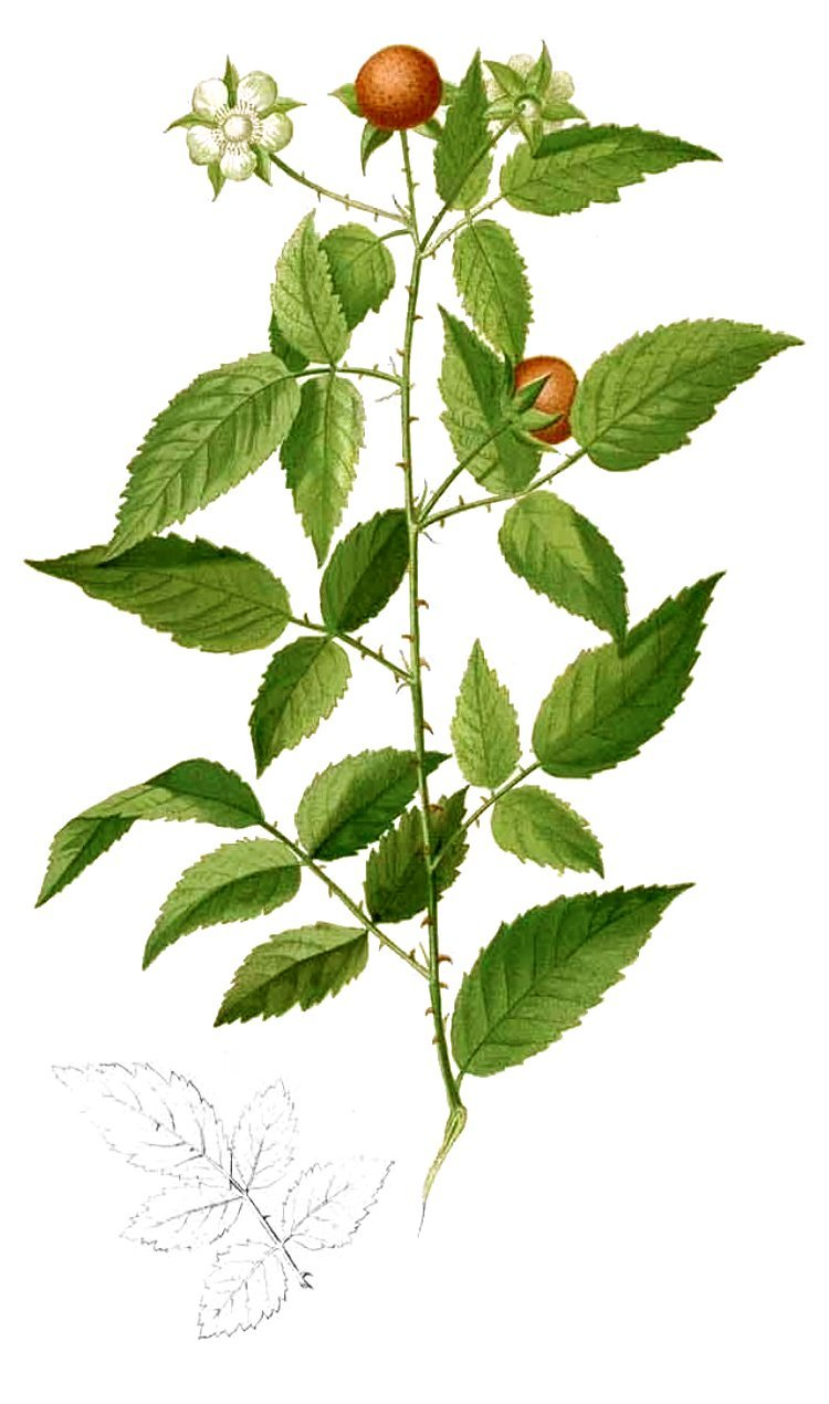 This is Rubus acuminatissimus, a species of black berry. The picture taken from a book titled Floras de Filipinas.