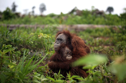 mabelmoments:  This mother orangutan and her baby were saved by the animal charity Four Paws from people who are paid to kill them. There are allegations that many palm oil companies in the area of Borneo pay rewards of up to 1m Indonesian rupiah (about £70) for each ape killed. The Four Paws team found the pictured orangutans surrounded by a group of local youths intending to kill them for a bounty. Photograph: Vier Pfoten/Four Paws/Rex