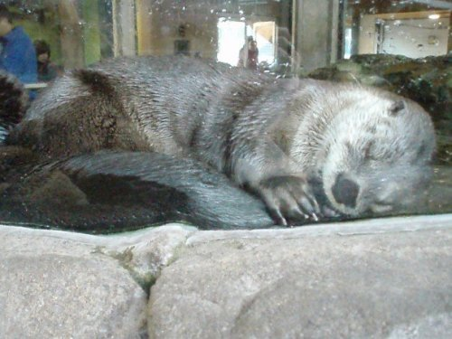 "thedailywhat:  Otterly Adorable of the Day: Redditor isisis says: ""A few years ago, I was having one of the worst days of my life and decided to chill at the Seattle Aquarium. I watched on otter fall asleep sucking his tail. It made my day so much better."" How about that — it's contagious. [reddit.]"