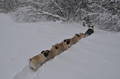 An army of pugs lead by a corgi.