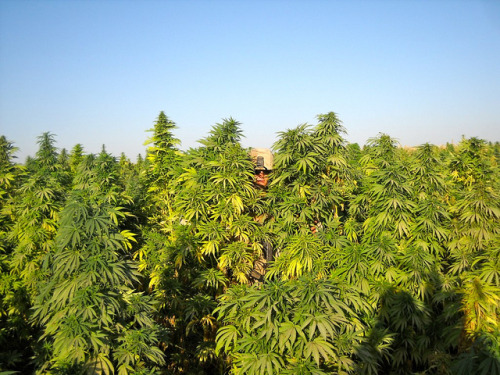 sexnw33d:  Fields of Marijuana by CKG 88 on Flickr.