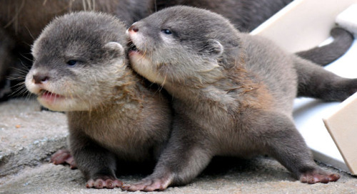 Did you know: Otters have the thickest fur of any animal in the world? It's true!