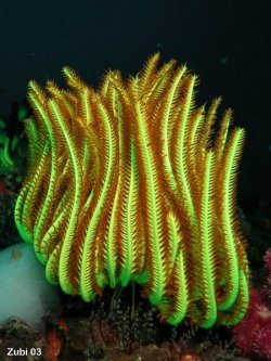 Tropical Feather Star (Oxycomanthus bennetti) Diameter: 15cm Location: Tropical western Pacific