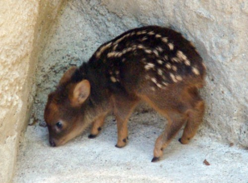 saola:  omfg god so cuteee  AHHH a mini bambi!!