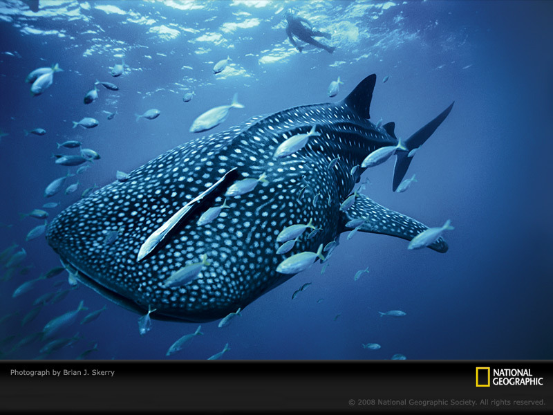 Whale Shark (Rhincodon typus) Length: 12-20m Location: Tropical and temperate waters worldwide Fun fact: They're gentle giants, the largest fish in the world, and my favorite animal!