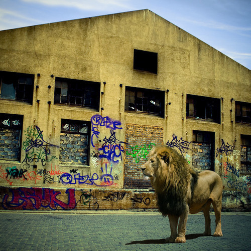 grownnotmanufactured:  The Lion the Graffiti And The Photograph