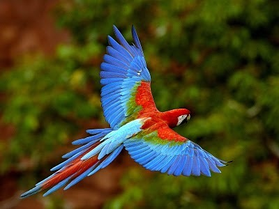 animalgazing:  Flying rainbow Macaw Photographer unknown