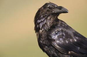 "fuckyeahveganlife:  from smithsonian magazine, february, 2012 ""how ravens say ""please come here"" the corvids—jays, crows and ravens—make tools, cooperate and hide food from potential thieves. now researchers in the austrian alps have observed ravens gesturing. in male-female pairs, one bird picked up a stick or bit of moss and pointed or waggled it. the other then approached. It's a first for non-apes, the biologists say, evidence that corvids ""rival even primates in many social cognitive domains."" yva momatiuk & john eastcott/minden pictures"""
