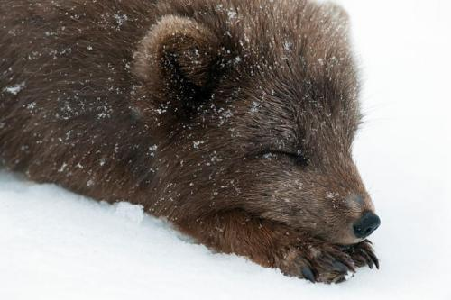 allcreatures:  Picture: Orsolya & Erlend Haarberg. An Arctic fox rests on the snow in Hornstrandir Nature Reserve, Westfjords, Iceland.
