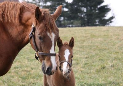 2012 foals: A Curlin filly with her mom Boca Beat (Mineshaft x Tap Your Feet, by Dixieland Band)