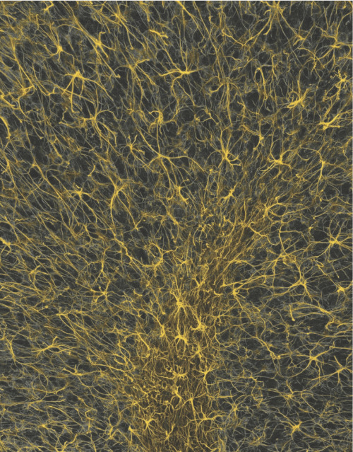 A light micrograph reveals a weblike pattern of cells called astrocytes in the cerebellum, a brain structure involved in motor control. (via Scientific American Mind)